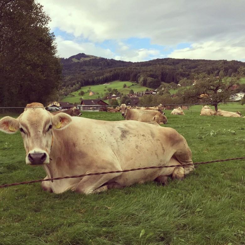 De koeien bleven lekker liggen, zo hadden ze het minste last van de wind