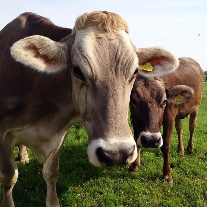 Woensdag liepen we een rondje en kwamen de koeien wel heel dichtbij!