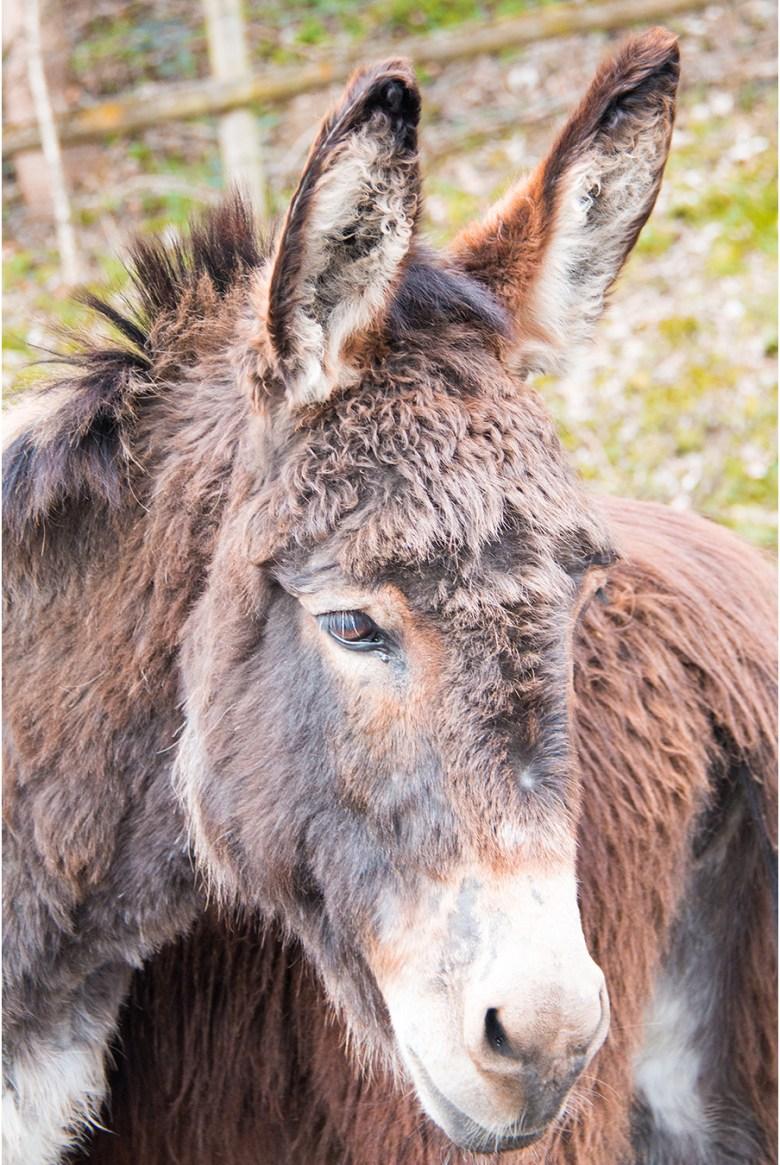 Deze beesten hebben  eigenlijk ook enorme oren!