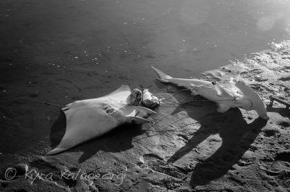Devil Ray and small Scalloped Hammerhead
