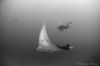 Manta ray & diver on Manta Reef, one of our dive sites