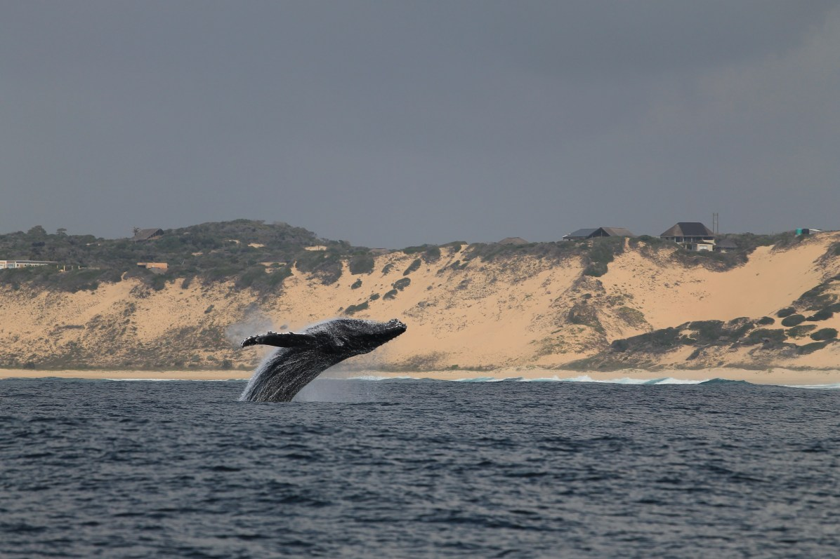 Humpback whales are a common sighting June - November every year in Mozambique