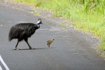 beautiful male cassowary and chic on the road near Etty Bay today ... 15/11/2011