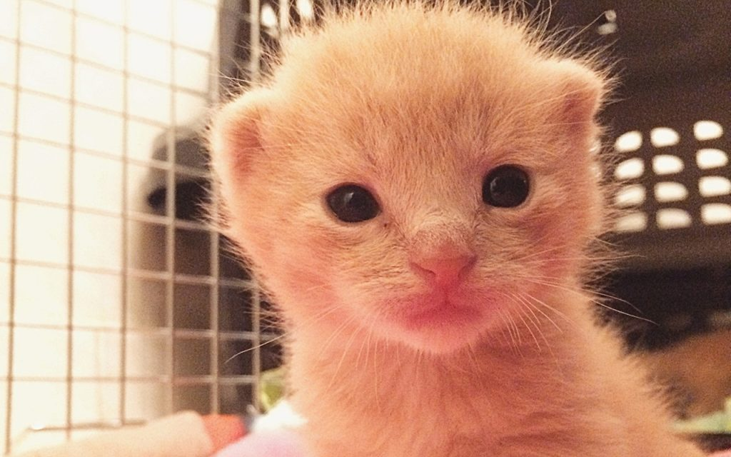 A very young buff orange kitten looks soulfully into the camera at close range.