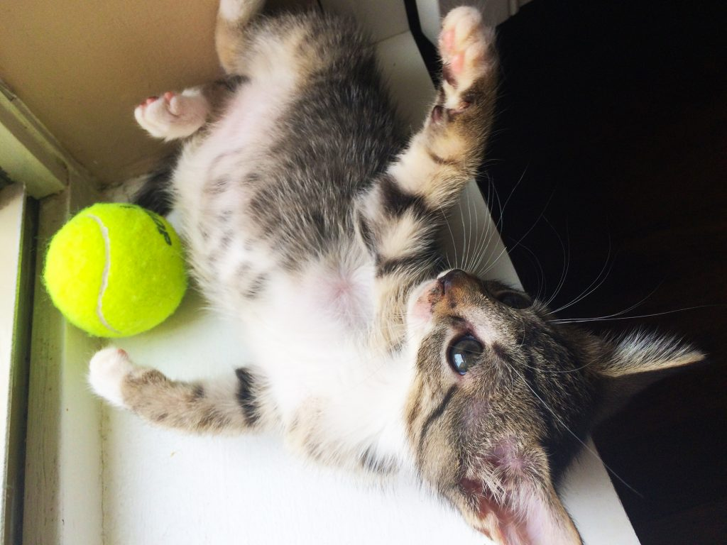 A kitten lies on his back on a bright windowsill next to a tennis ball, which is a great kitten fostering supplies list item.