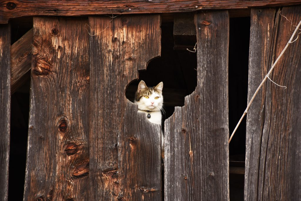A barn cat with a collar peering out from a segment of a large wooden building