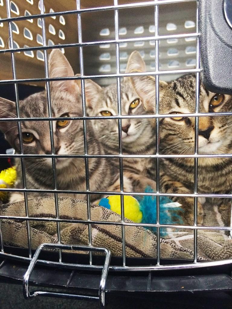 Three brown tabby kittens with striking yellow eyes sit together in a cat carrier with their heads all tilted slightly to the same side.