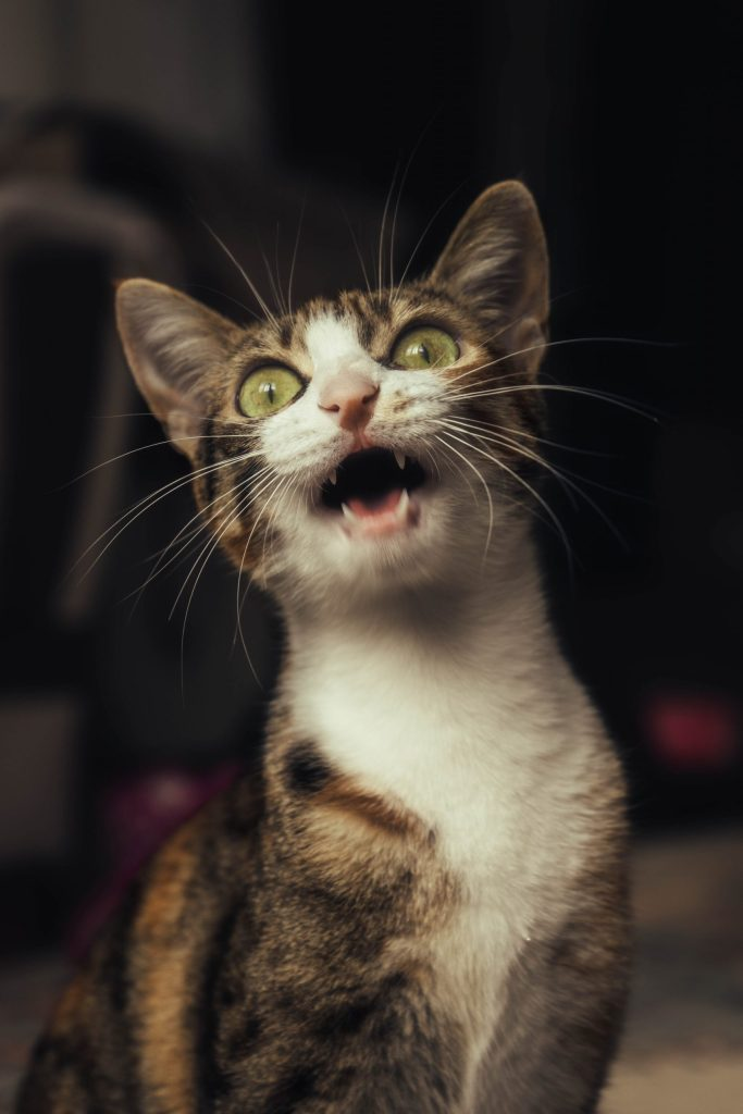 A photograph of a cat mid-meow with an open mouth and opinionated eyes.