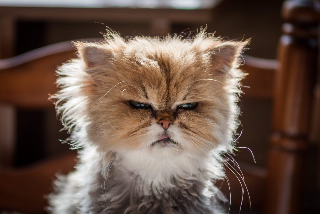 A great photograph of a frazzled, grumpy cat.