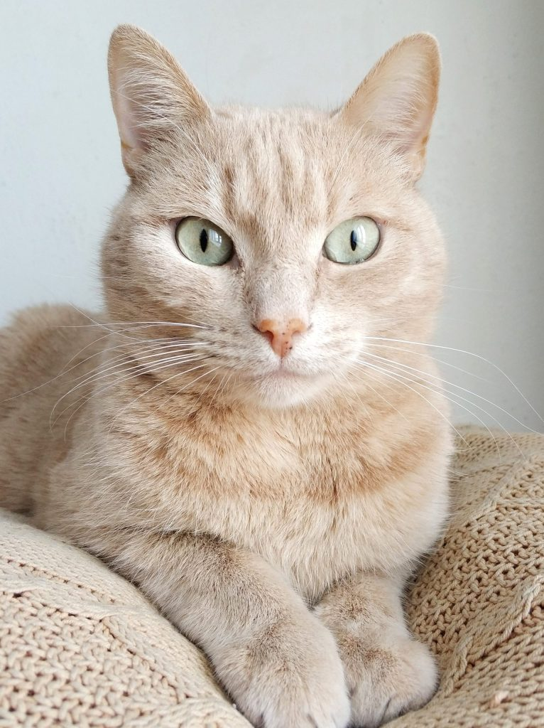 A light orange cat with light green eyes is sitting on a blanket and gazing intensely just past the camera.