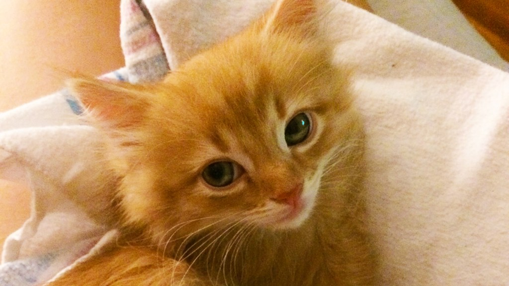 A fluffy orange kitten looks skeptically at the camera.
