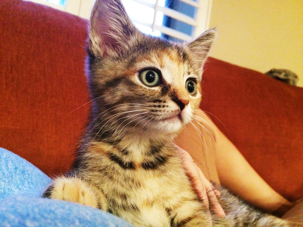 An unsocialized torbie kitten learns to love people using the strategy for taming kittens described on this page.