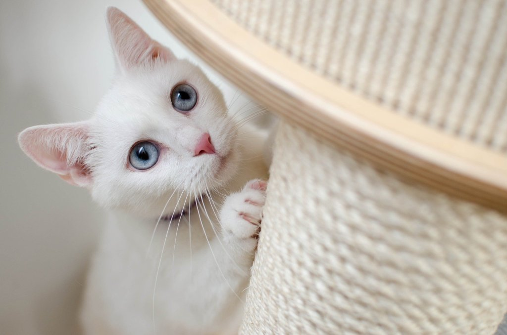 This white cat is standing up against a scratching post while having her photo taken.