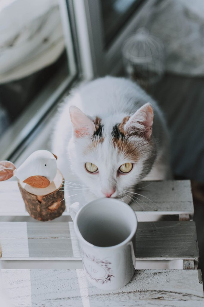 A mostly white cat with yellow eyes looks up at the camera and sniffs an empty mug on a table.