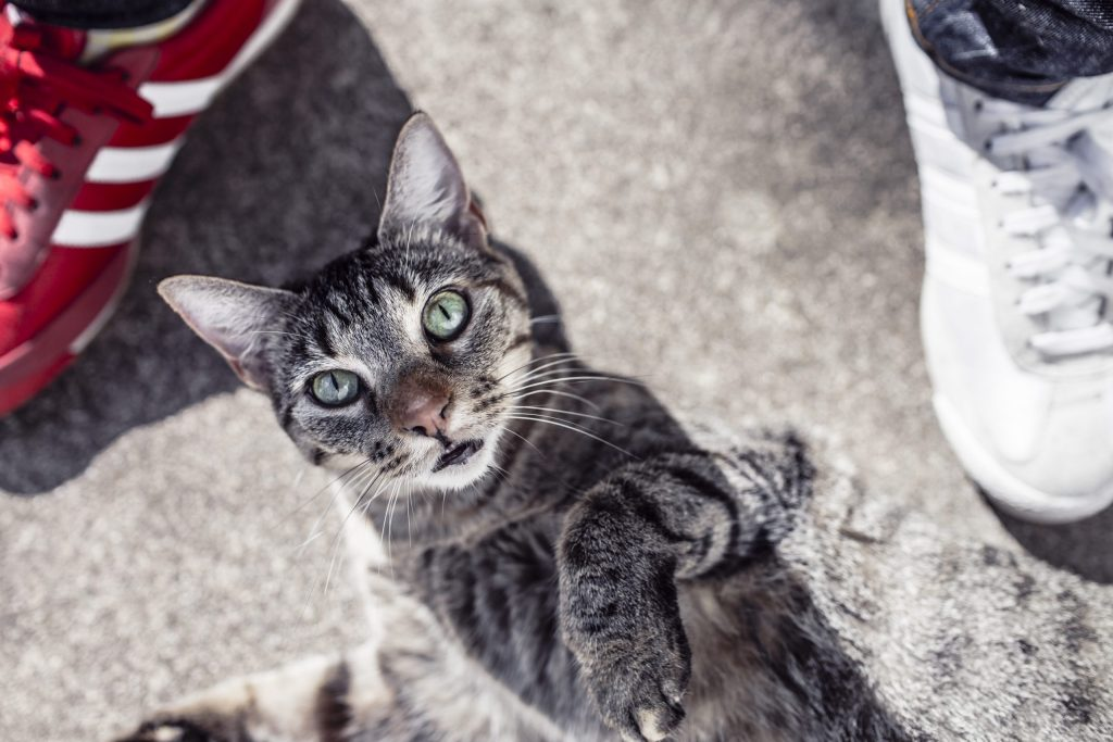 Brown tabby kitten lying on the ground looks up at the camera with one paw raised