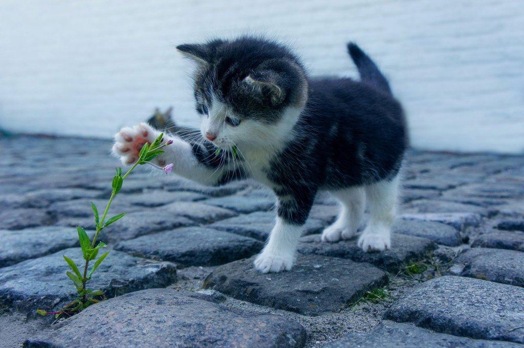 Small kitten swats at weed flower growing through a cobblestone path.