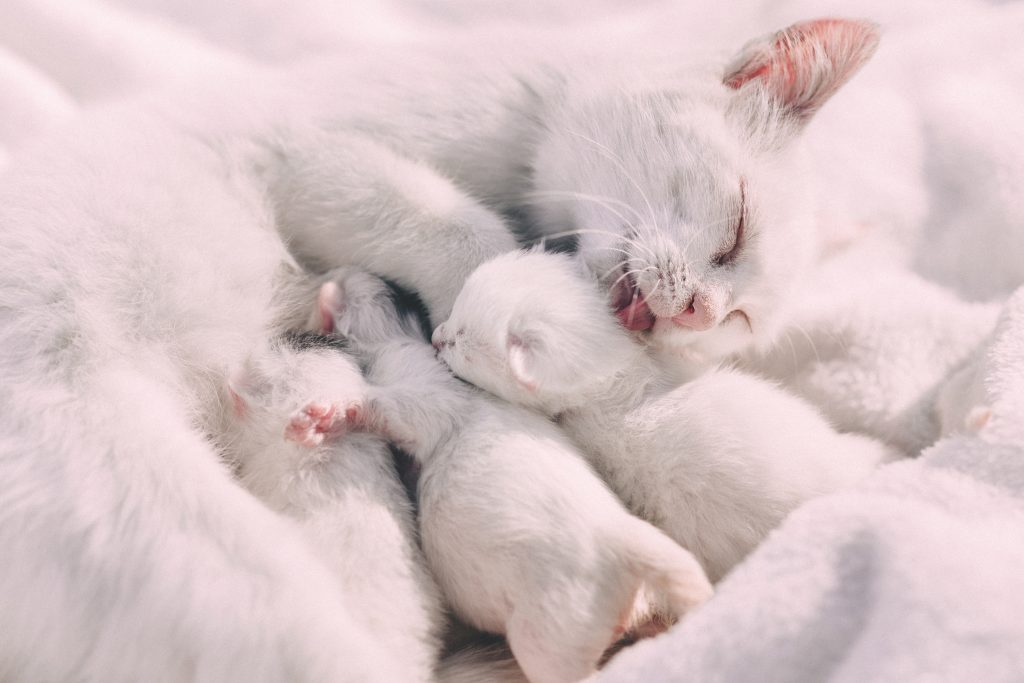 A white cat feeds and bathes very young white kittens.