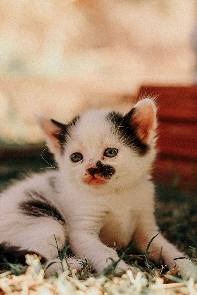 A very cute white kitten with black spots.
