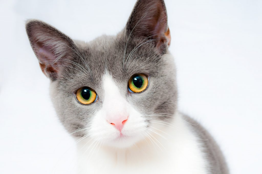 A bicolor cat with white and gray fur.