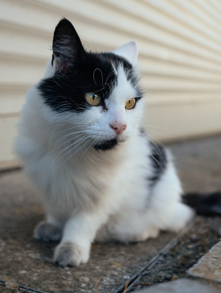 A black and white piebald cat.