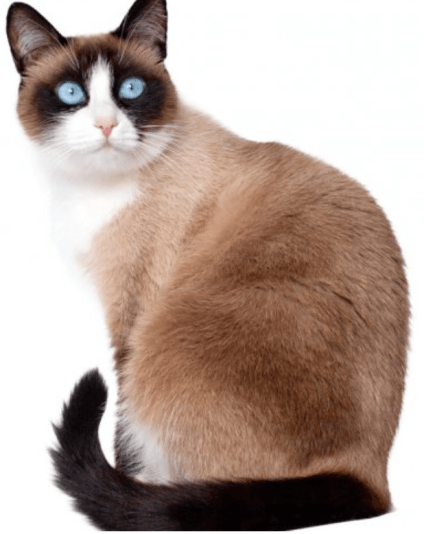 A snowshoe cat is a pointed cat, not a bicolor cat.