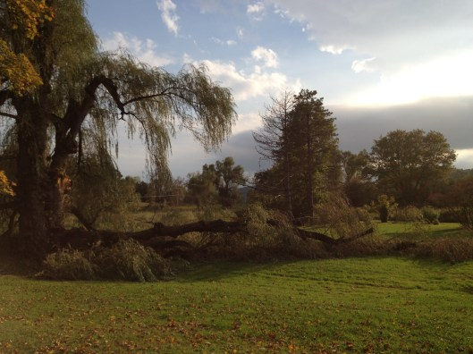 Fallen willow tree limb.