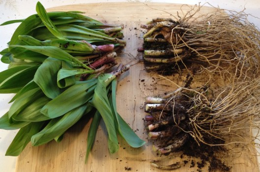 Ramps cut to plant the roots and use the leaves and stem.
