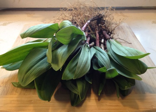 Fresh pulled ramps, the first Springtime onion/garlic herb/vegetable.