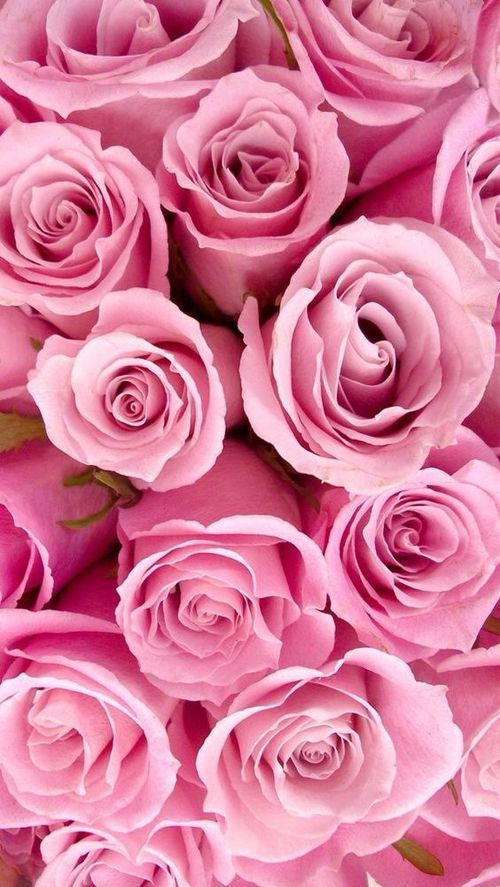 Pinke Bilder Pink Rose Closeup Pictures, Photos, And Images For ...