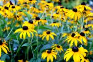 blackeyed susans-1