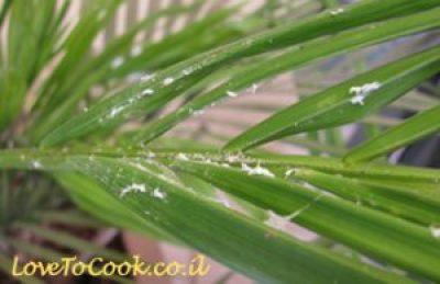 איך להדביר מזיקים בגינה - קימחון