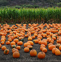 Half Moon Bay Pumpkins - Halloween