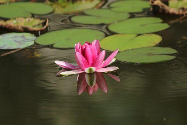 Calming Water Lilies - Photo credit: Pixabay