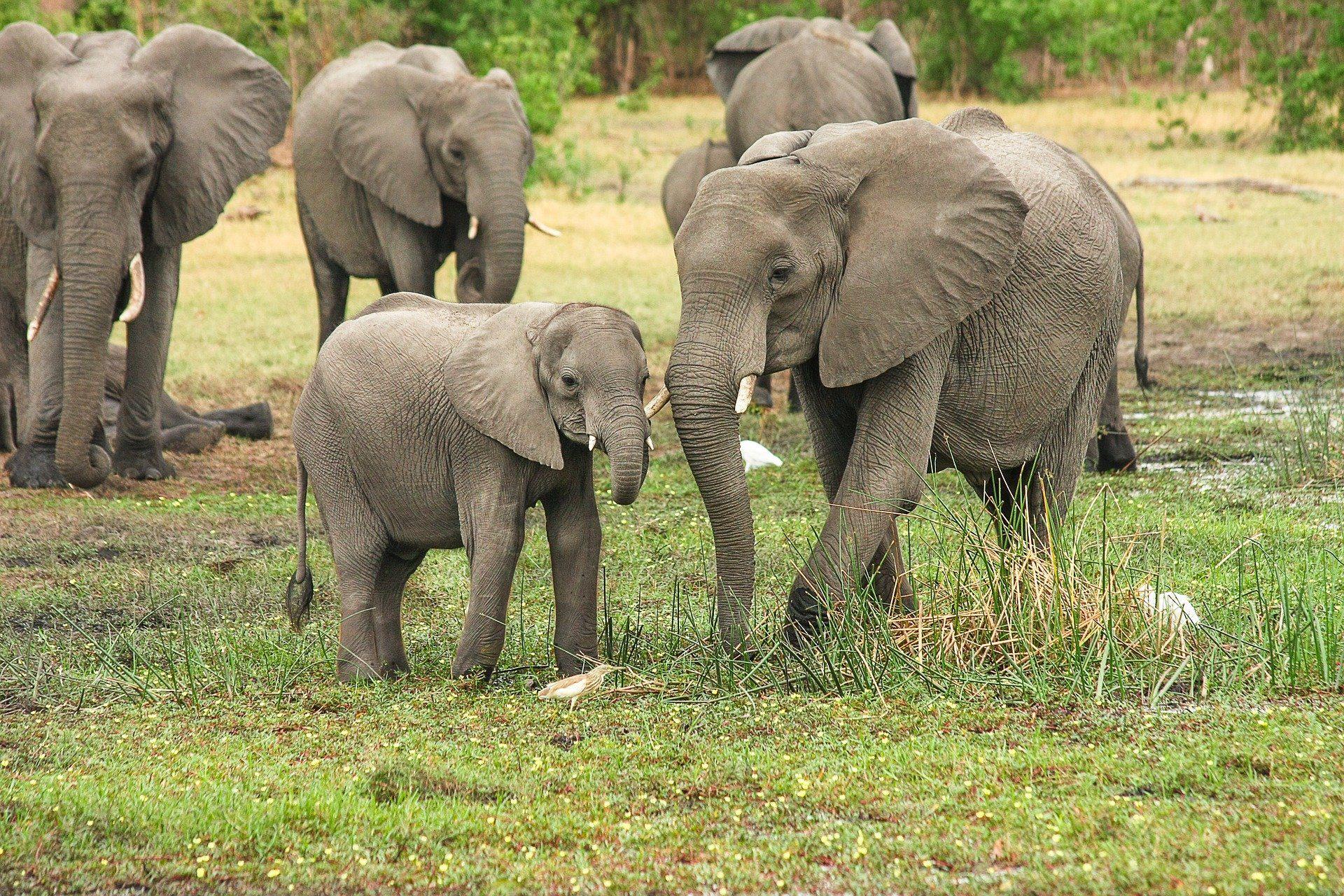 African elephants, Africa