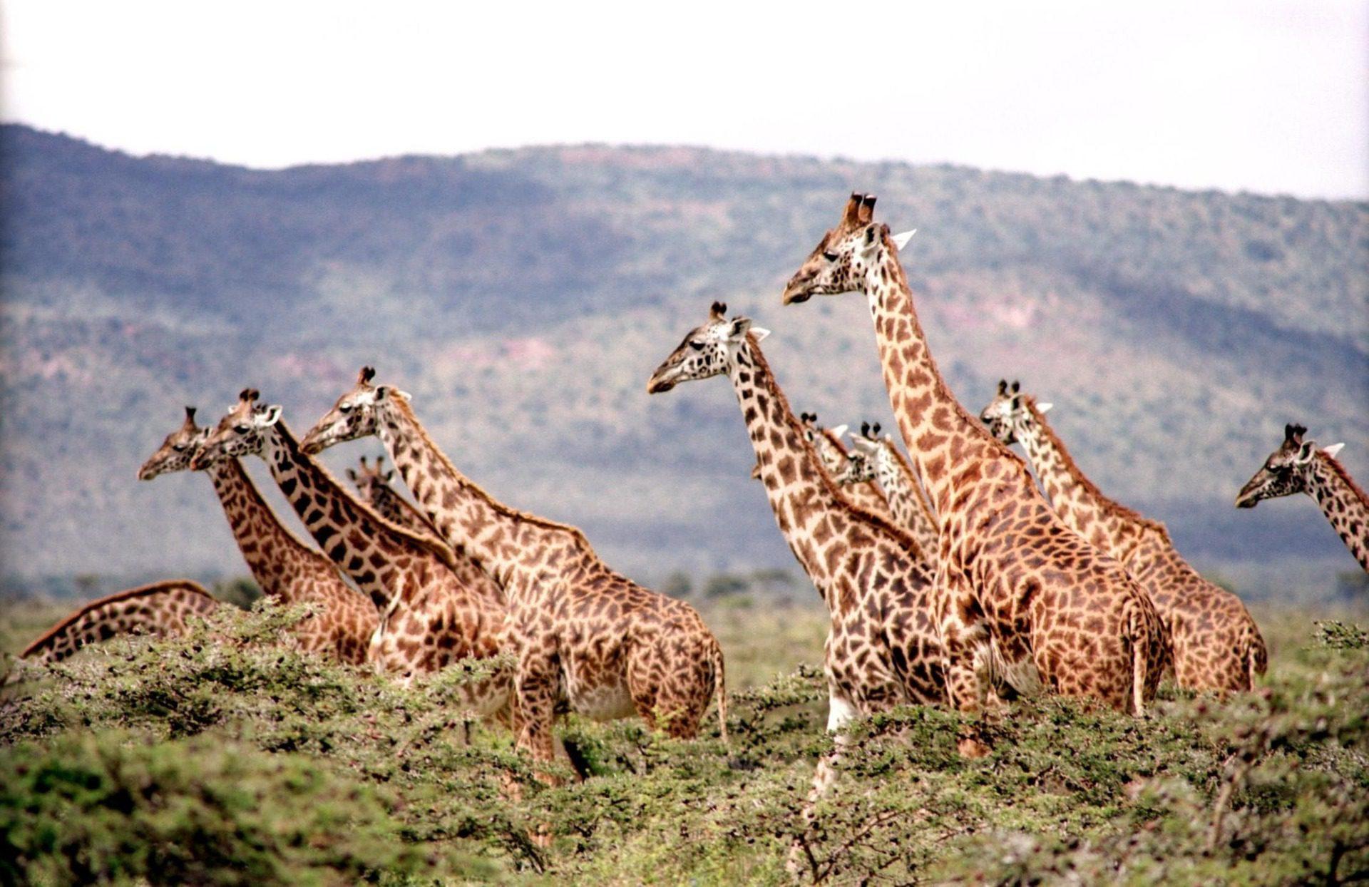 Giraffes, African Safari, Africa