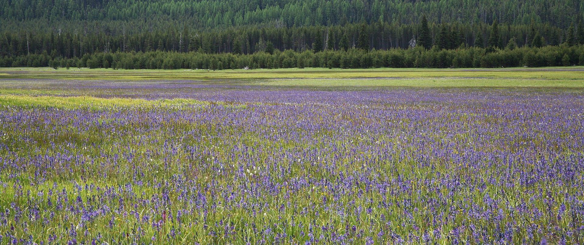 Lavender Fields, Ashland, Oregon