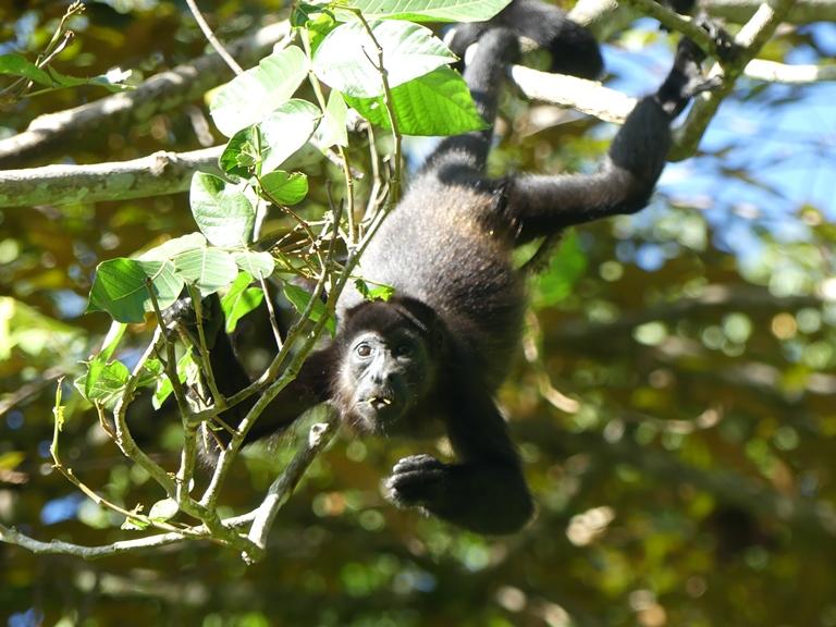 Howler monkey/congo. Cahuita. Costa Rica