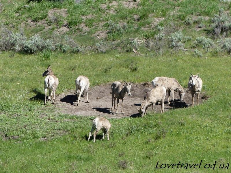 animals-in-yellowstone-6
