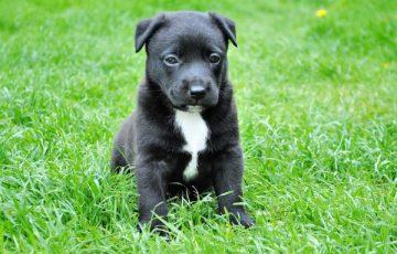 子犬 ワクチン 3回 接種後