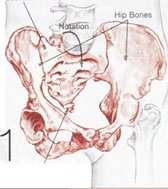 THE BASE OF THE SPINE  consists of the tailbone and the sacrum, which nutates (or rotates forward from the top) in relation to the hip bones.