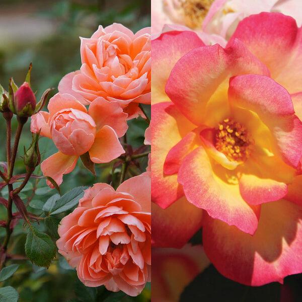 Ceaiul de trandafiri: 5 efecte utile pentru slăbire - mongolianbbq.hu