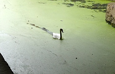 Mute swan on Grand Union/Regent's Canal under Mare St 180813 © david.altheer@gmail.com