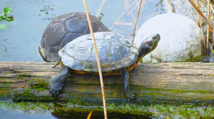 terrapin: at Stoke Newington reservoir wildlife reserve © david.altheer@gmail.com