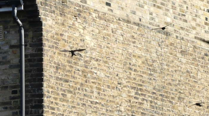 swifts0717 approaching eaves nest in Dalston E8 070717 © david,altheer@gmail,com