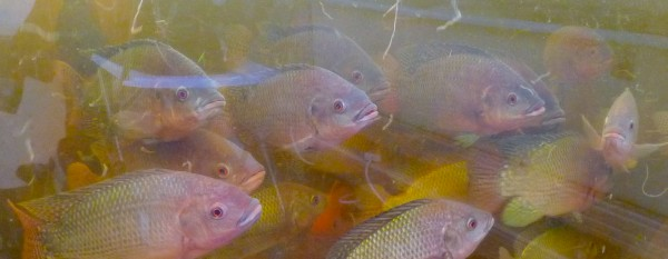 Nile tilapia (Oreochromis niloticus) @ FARM:shop 20 Dalston Lane Hackney London E8 © DavidAltheer[at]gmail.com.