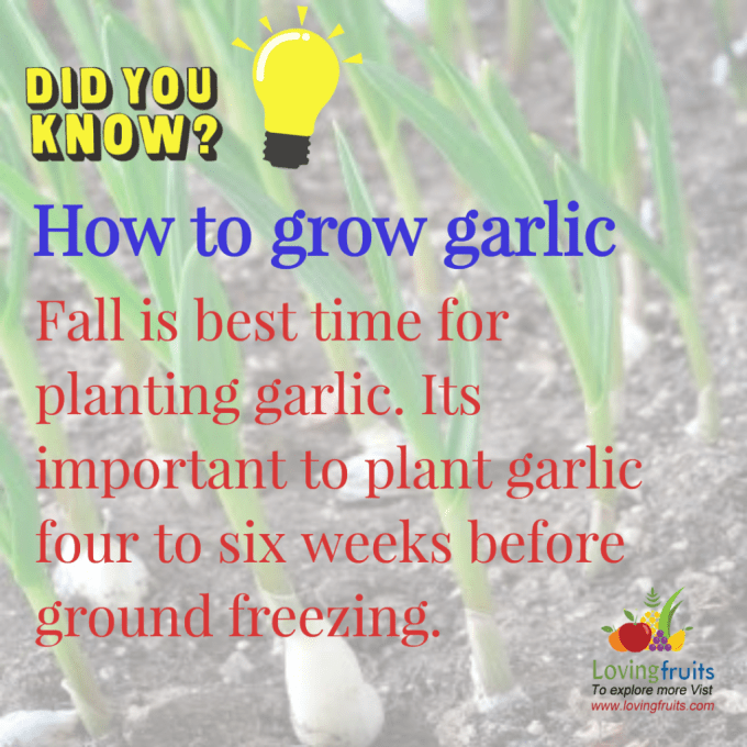 best time for planting garlic
