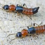 Tanda-Tanda Terkena Serangga Tomcat