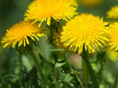 Herbs for natural hair growth-Dandelion