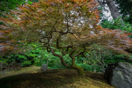 Maple Tree at Portland Japanese Gardens-19067712964