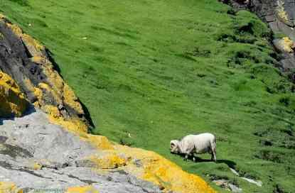 St. Kilda Sheep